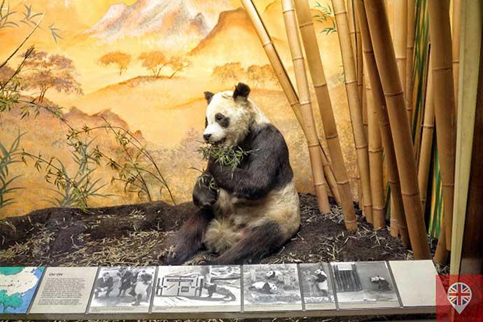 natural history museum panda chichi