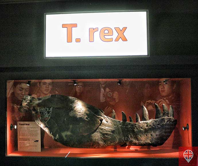 natural history museum trex
