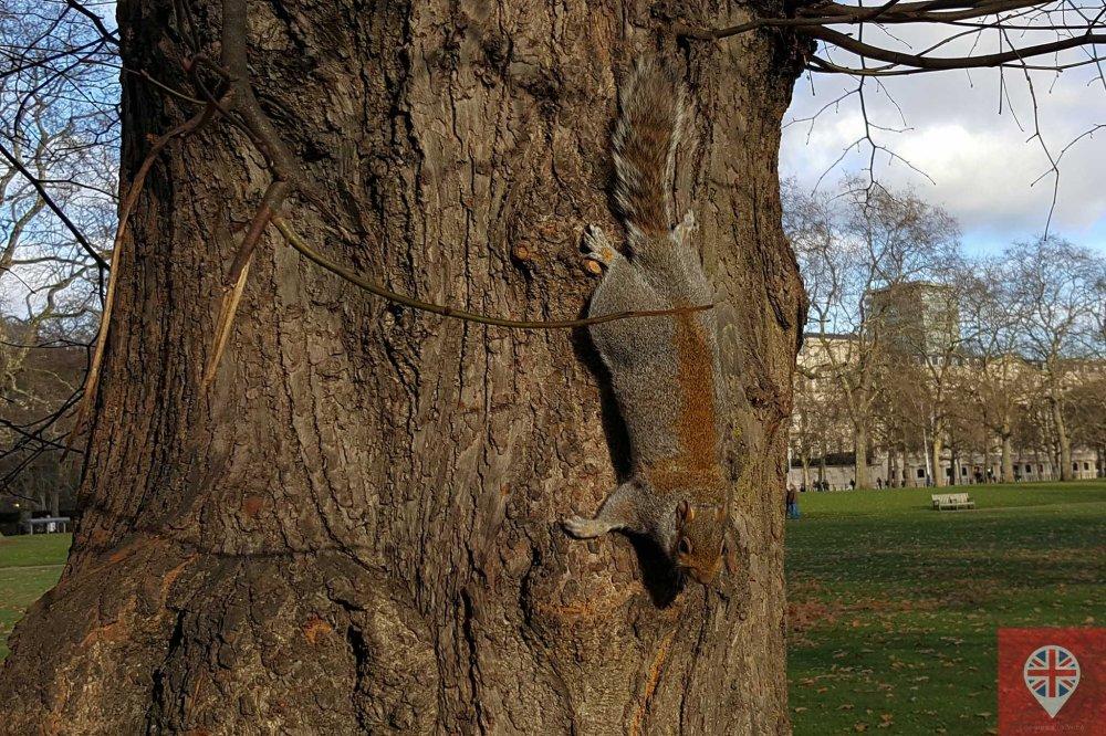 squirrel tree st james park