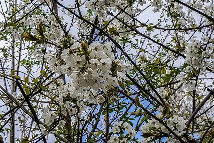 flores pe de ameixa