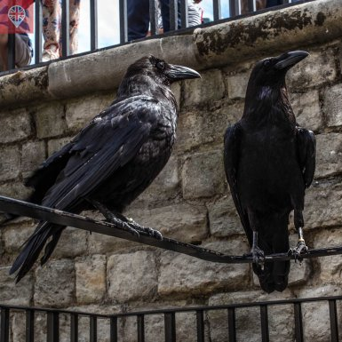 Tower of London ravens close