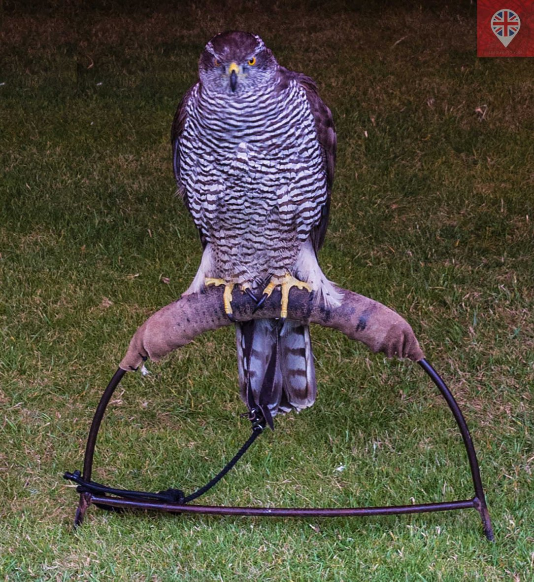 hampton court tudor party falcon