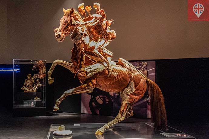 Body Worlds The Rearing Horse e Rider